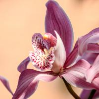orchidea significato